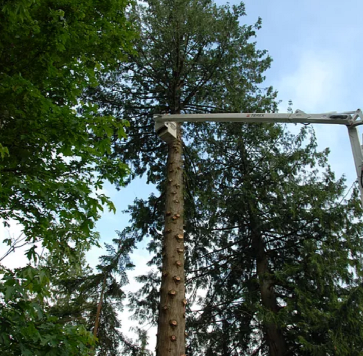 75' Bucket Truck - Our bucket truck is able to reach far to limb the tree.
