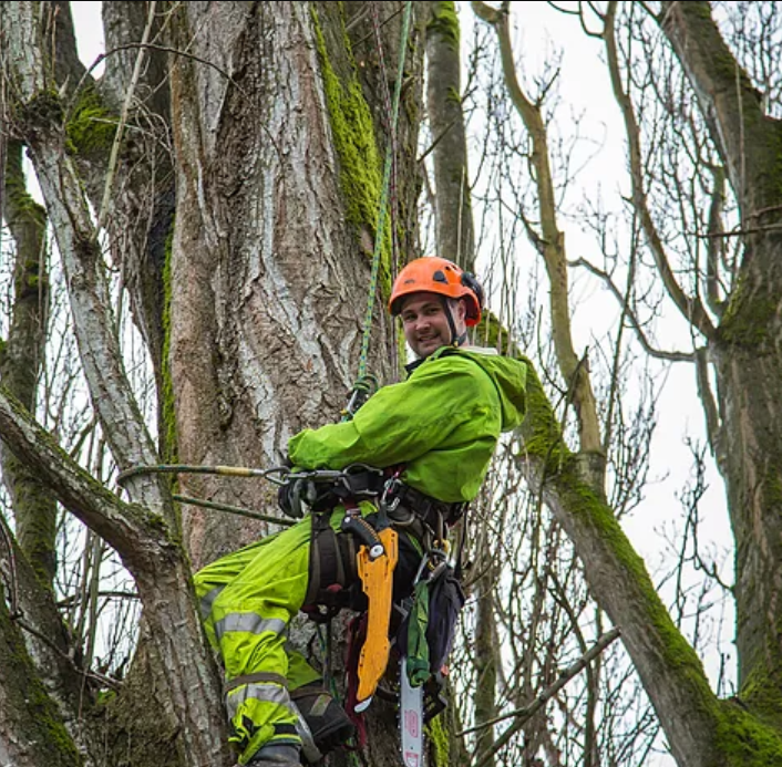 Adam Cutting Poplar Tree - Adam is one of our leads that has extensive experience in tree removals.
