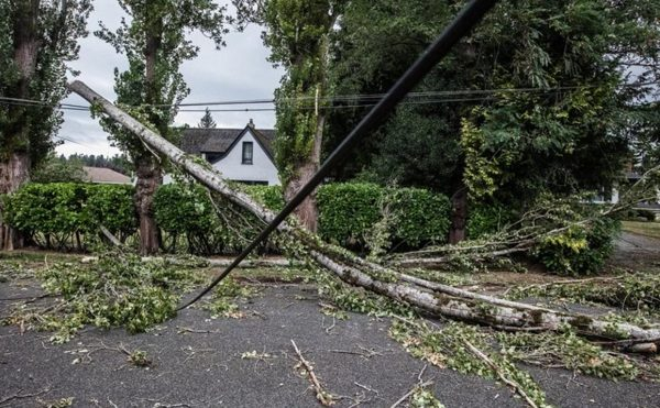 Black Cottowood Tree Removals