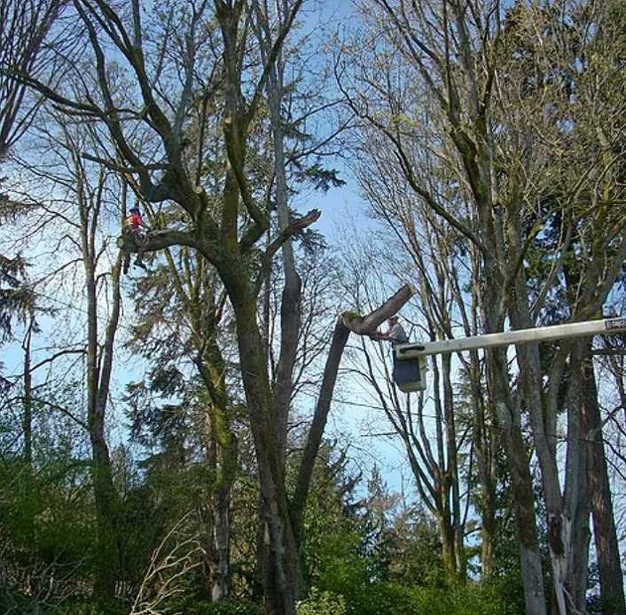 Bucket Truck Tree Trimming - Our 75' forestry bucket truck can safely reach your trees.